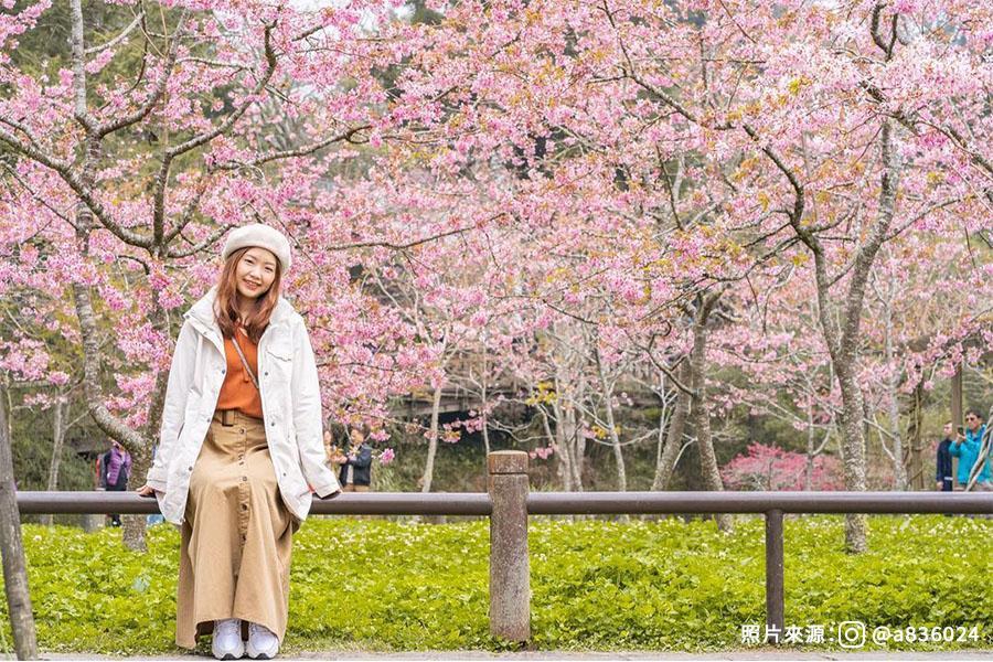 【嘉義】花見浪漫春櫻阿里山、奮起湖車站老街漫遊1日
