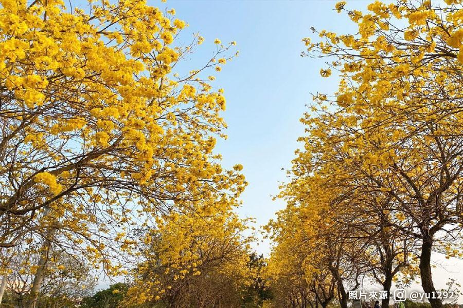 【嘉義】黃花風鈴木~朴子溪南堤、八掌溪河堤、蒜頭糖廠五分車1日