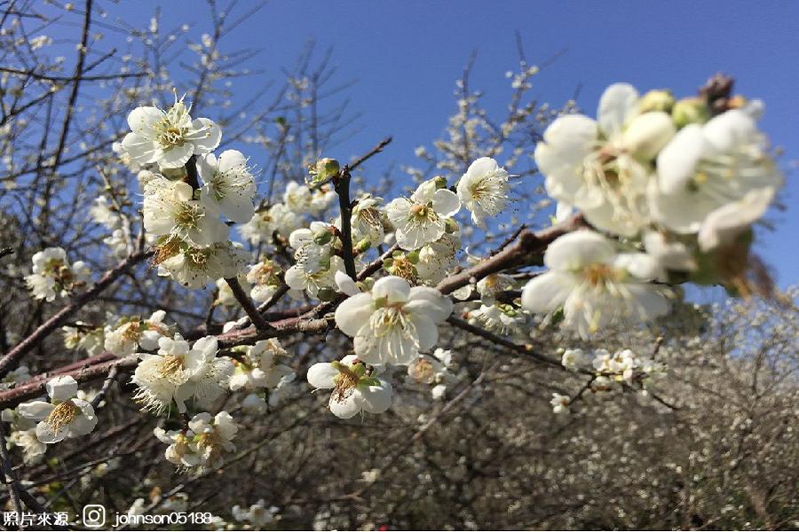 【嘉義】季節限定~梅山公園賞梅、特色梅子雞風味餐、漫步雲霧太平雲梯、元氣梅子館1日