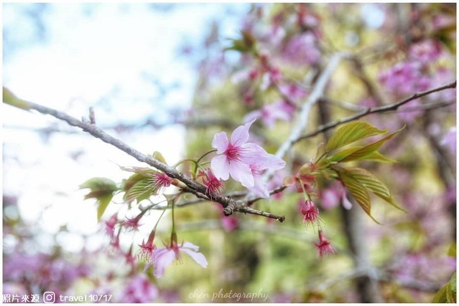 【南投】遇見最美櫻花谷、愛上杉林溪森の旅1日