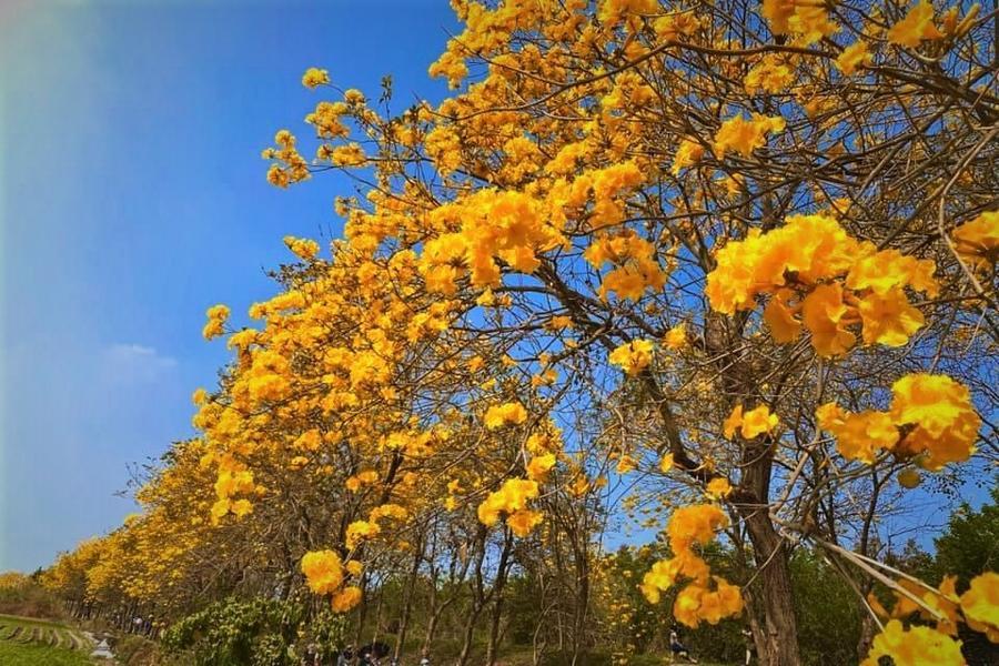 【台中出發】<<季節限定>>追尋黃金雨~探訪木棉道~擁抱山林特富野 二日遊