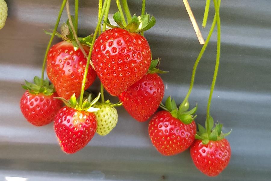 【苗栗】大湖草莓季、炮仗花海、客庄文創、莓好一日遊