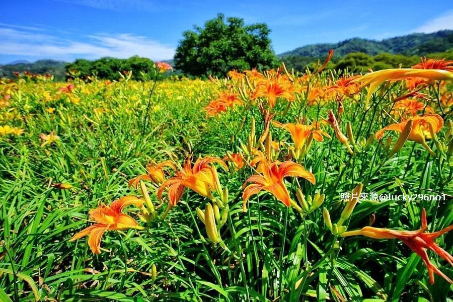 【金針想戀】金針花、慈恩塔、伊達邵、向山遊客中心、喝喝茶1日-高雄出發