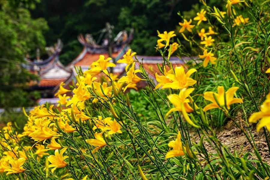 【彰化花壇】(板橋火車站出發)花現幸福小旅行、虎山巖金針花、採摘茉莉花一日