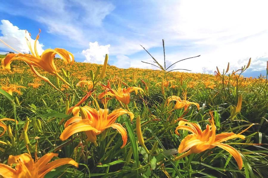 【金色花海】赤柯山、六十石山金針花毯、現抓小龍蝦、花東縱谷溫泉三日