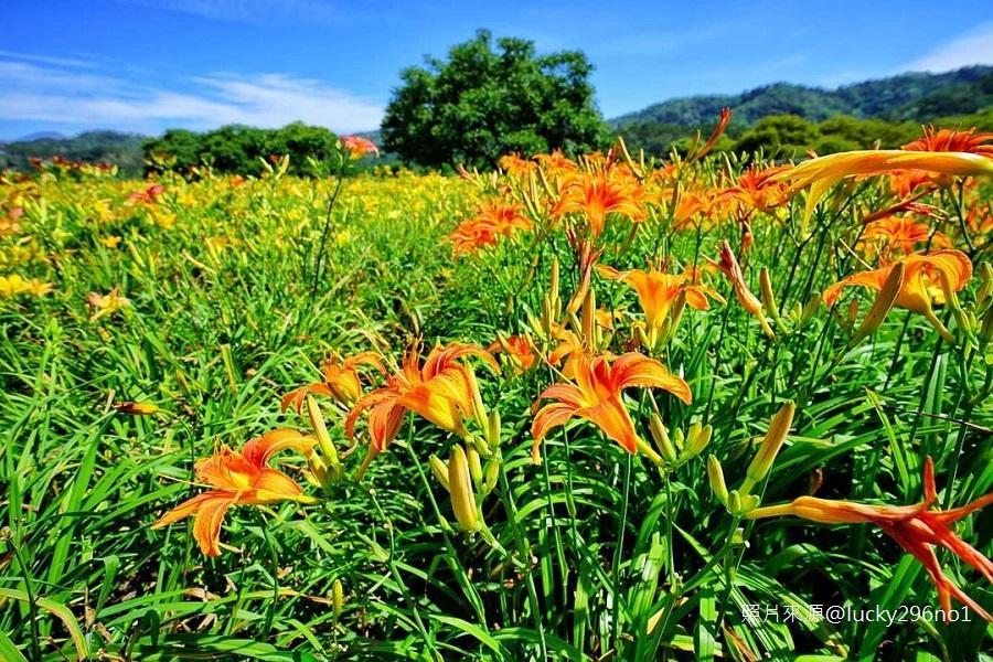 【季節限定 】南投金針花海、活盆地體驗、日月潭美景、日月老茶廠一日遊