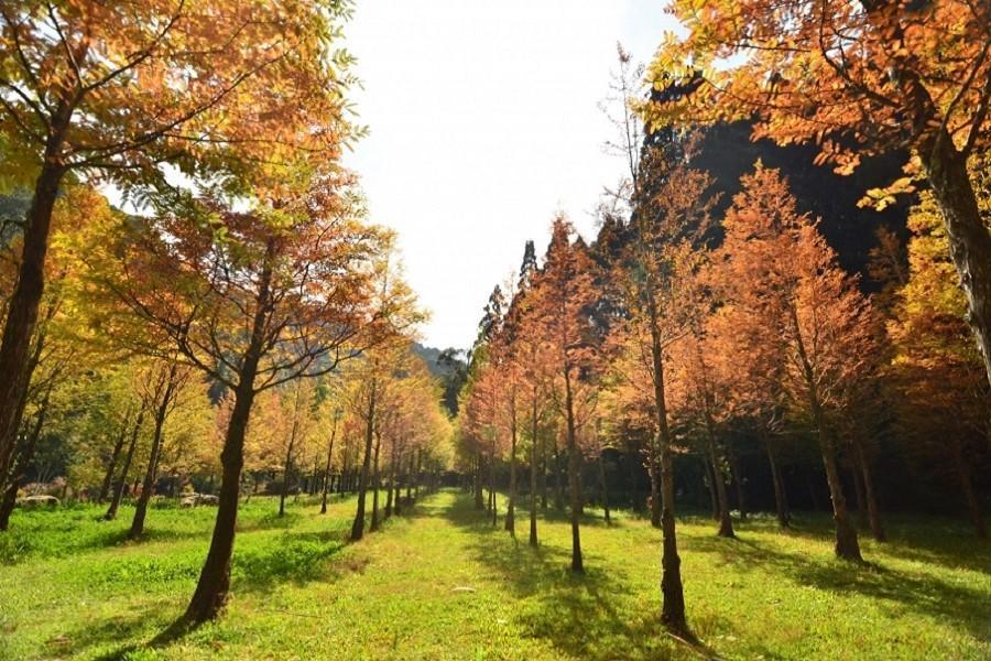 【追楓杉林】藍天與氧氣的故鄉~杉林溪秋楓黃金杉、天然氧吧森の旅1日