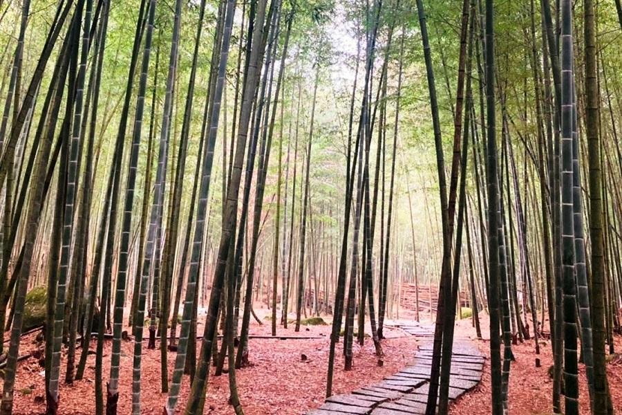 【金秋杉林】小半天孟宗竹林、武岫農圃、銀杏步道、溪頭米堤2日-台南出發