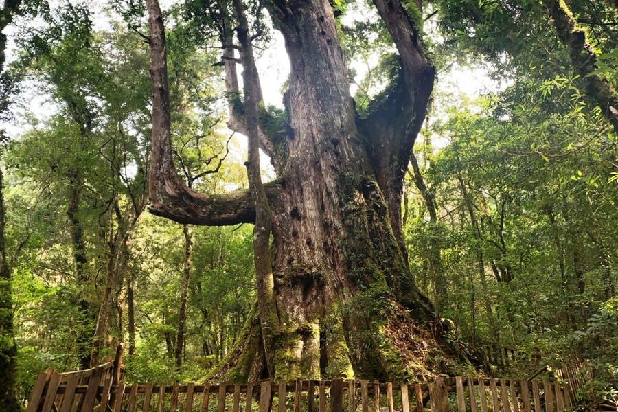 【微旅行到府接送】巨木原鄉~司馬庫斯、原生態部落巡禮、崎頂子母隧道3日