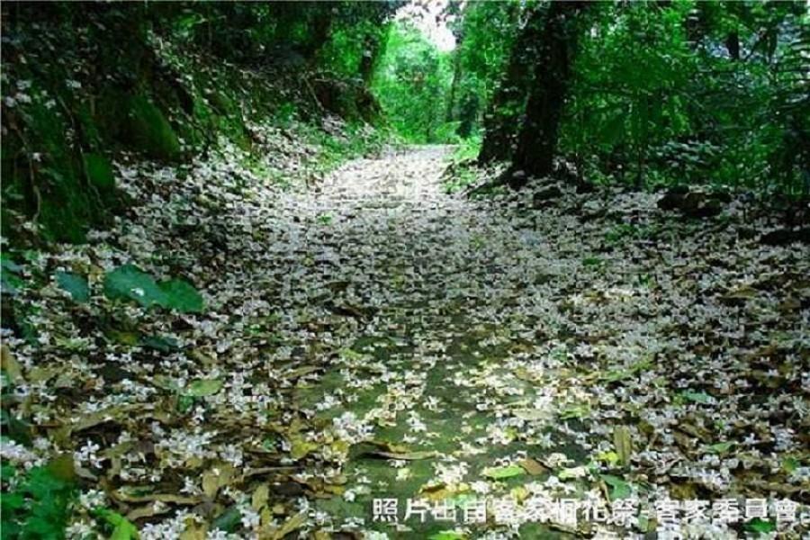 【新竹】鹿寮坑桐花步道、內灣老街、香山濕地、魚鱗天梯,與您桐在一日遊